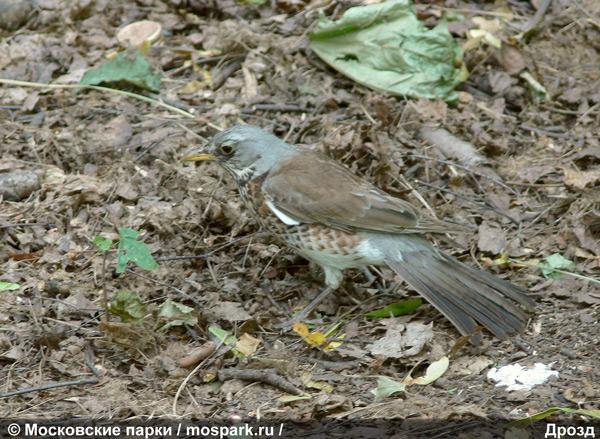 дрозды фото птицы в москве